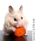 Купить «Хомяк грызет морковку», фото № 3770119, снято 15 августа 2012 г. (c) Останина Екатерина / Фотобанк Лори