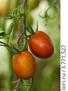 Краснеющий помидор на ветке в теплице. Стоковое фото, фотограф Кудрявцева Светлана / Фотобанк Лори