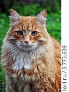 Рыжий кот на фоне зелени. Стоковое фото, фотограф Екатерина Бакланова / Фотобанк Лори