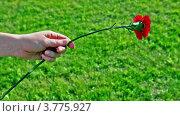 Купить «Детская рука держит красную гвоздику на фоне травы», видеоролик № 3775927, снято 31 января 2012 г. (c) Losevsky Pavel / Фотобанк Лори
