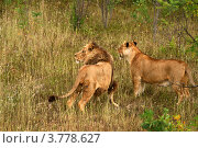 Купить «Лев и львица (Panthera leo)», эксклюзивное фото № 3778627, снято 12 августа 2012 г. (c) Щеголева Ольга / Фотобанк Лори