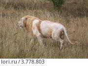 Купить «Белый лев идет среди травы под дождем», эксклюзивное фото № 3778803, снято 12 августа 2012 г. (c) Щеголева Ольга / Фотобанк Лори