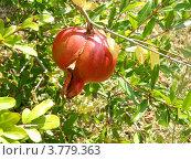 Купить «Висящий на ветке плод граната,окруженный своими листьями», фото № 3779363, снято 18 августа 2012 г. (c) Игорь Кутателадзе / Фотобанк Лори