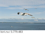 Чайки над Финским заливом. Стоковое фото, фотограф Александр Лопарев / Фотобанк Лори