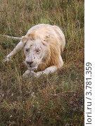 Купить «Белый лев лежит на траве», эксклюзивное фото № 3781359, снято 12 августа 2012 г. (c) Щеголева Ольга / Фотобанк Лори