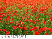 Купить «Поле красных маков», фото № 3784011, снято 19 мая 2012 г. (c) Иван Михайлов / Фотобанк Лори