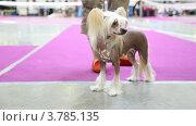 Купить «Китайская хохлатая собака участвует в выставке вместе с владельцем», видеоролик № 3785135, снято 30 июля 2012 г. (c) Losevsky Pavel / Фотобанк Лори