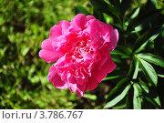 Розовый пион в листве. Стоковое фото, фотограф Елена Шуршилина / Фотобанк Лори