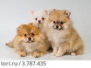 Купить «Щенки немецкого шпица», фото № 3787435, снято 10 июня 2012 г. (c) Vladimir Suponev / Фотобанк Лори