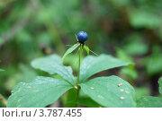 Вороний глаз четырёхлистный лат. Paris quadrifolia. Стоковое фото, фотограф Сергей Воронин / Фотобанк Лори