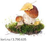 Купить «Белые грибы боровики на белом фоне», фото № 3790635, снято 29 августа 2012 г. (c) Лисовская Наталья / Фотобанк Лори