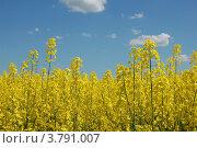 Рапсовое поле. Стоковое фото, фотограф Нина М / Фотобанк Лори