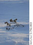 Сухая ветка на снегу. Стоковое фото, фотограф Анастасия Нестерова / Фотобанк Лори