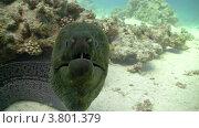 Купить «Мурена плавает в коралловом рифе, Красное море», видеоролик № 3801379, снято 2 сентября 2012 г. (c) Discovod / Фотобанк Лори