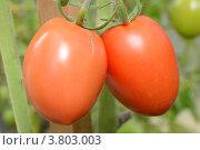 Купить «Тепличный помидор сорта Паленка», фото № 3803003, снято 1 сентября 2012 г. (c) Окунев Александр Владимирович / Фотобанк Лори
