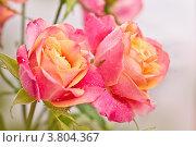 Купить «Красивые розовые розы», фото № 3804367, снято 3 сентября 2012 г. (c) Типляшина Евгения / Фотобанк Лори