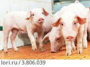 Купить «Молодые поросята на свиноферме», фото № 3806039, снято 30 августа 2012 г. (c) Дмитрий Калиновский / Фотобанк Лори
