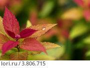 """Японская спирея, сорт """"anthony waterer"""" под дождем. Стоковое фото, фотограф Светлана Алпатова / Фотобанк Лори"""