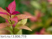 """Спирея, сорт """"anthony waterer"""" под дождем. Стоковое фото, фотограф Светлана Алпатова / Фотобанк Лори"""