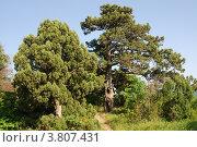 Купить «Можжевельник Высокий / Juniperus Excelsa», фото № 3807431, снято 20 мая 2007 г. (c) Игорь Архипов / Фотобанк Лори