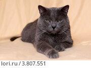 Кошка Шартрез. Стоковое фото, фотограф Svetlana Zavrazhina / Фотобанк Лори