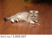 Котенок  Британская порода. Стоковое фото, фотограф Svetlana Zavrazhina / Фотобанк Лори
