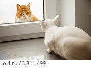 Белый корниш-рекс и беспородный рыжий кот за стеклом. Стоковое фото, фотограф Svetlana Mihailova / Фотобанк Лори