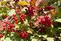 Калина красная, фото № 3811687, снято 5 сентября 2012 г. (c) Наталья Волкова / Фотобанк Лори