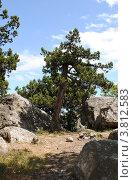 Купить «Можжевельник высокий (лат. Juniperus excelsa)», эксклюзивное фото № 3812583, снято 19 мая 2010 г. (c) Анна Мартынова / Фотобанк Лори