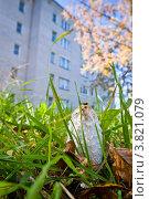 Купить «Гриб навозник белый (условно-съедобный)», фото № 3821079, снято 25 сентября 2010 г. (c) Ольга Денисова / Фотобанк Лори