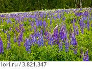 Купить «Люпиновое поле», фото № 3821347, снято 5 июня 2012 г. (c) Ольга Денисова / Фотобанк Лори