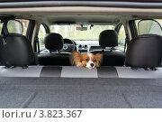 Собака в автомобиле. Стоковое фото, фотограф Сергей Лаврентьев / Фотобанк Лори