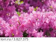 Купить «Ветка бурно цветущего розового рододендрона (Rhododendron)», фото № 3827375, снято 2 мая 2012 г. (c) Ольга Липунова / Фотобанк Лори