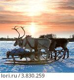 Купить «Упряжка северных оленей зимой на фоне восхода», фото № 3830259, снято 25 февраля 2012 г. (c) Владимир Мельников / Фотобанк Лори