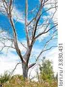 Купить «Обгоревшее дерево на фоне голубого неба», фото № 3830431, снято 25 августа 2012 г. (c) Лисовская Наталья / Фотобанк Лори