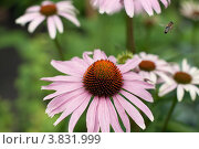 Цветок космеи и пчела. Стоковое фото, фотограф Масюк Светлана / Фотобанк Лори