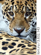 Ягуар. Стоковое фото, фотограф Марат Сафаров / Фотобанк Лори
