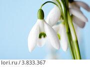 Купить «Белые цветы подснежников на голубом фоне», фото № 3833367, снято 21 марта 2012 г. (c) Оксана Ковач / Фотобанк Лори