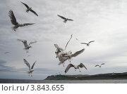 Серебристые чайки дерутся за еду. Стоковое фото, фотограф Денис Гоппен / Фотобанк Лори