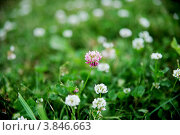 Купить «Цветок Кашка», фото № 3846663, снято 7 июля 2012 г. (c) Елизавета Светилова / Фотобанк Лори