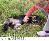 Купить «Собака. Дворняга. Чешем животик», фото № 3846751, снято 7 сентября 2012 г. (c) Елена Мусатова / Фотобанк Лори
