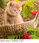 Купить «Портрет рыжего котёнка в плетёной корзинке с красными ягодами рябины», фото № 3855727, снято 9 сентября 2012 г. (c) Irina Danilova / Фотобанк Лори
