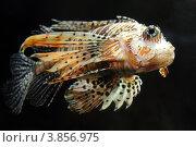 Купить «Крылатка», фото № 3856975, снято 19 июля 2012 г. (c) Михаил Коханчиков / Фотобанк Лори
