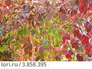 Купить «Фон. Девичий виноград пятилисточковый (Parthenocissus quinquefolia)», эксклюзивное фото № 3858395, снято 21 сентября 2012 г. (c) Александр Алексеев / Фотобанк Лори