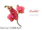 Красная орхидея. Стоковое фото, фотограф Olha Ukhal / Фотобанк Лори