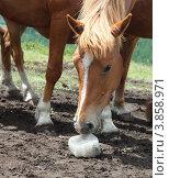 Купить «Лошадь лижет соль на горном пастбище», фото № 3858971, снято 28 июня 2011 г. (c) hunta / Фотобанк Лори
