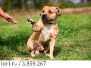Купить «Питбультерьер подает лапу хозяину на фоне зеленного луга», фото № 3859267, снято 22 сентября 2012 г. (c) Николай Винокуров / Фотобанк Лори
