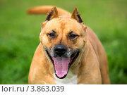 Купить «Портрет улыбающейся собаки породы американский стаффордширский терьер на фоне луговой травы», фото № 3863039, снято 22 сентября 2012 г. (c) Николай Винокуров / Фотобанк Лори