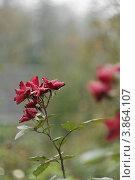 Роза под дождем. Стоковое фото, фотограф Светлана Алпатова / Фотобанк Лори