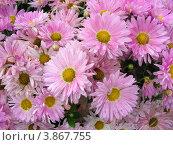 Купить «Садовые хризантемы (Chrysanthemum)», эксклюзивное фото № 3867755, снято 6 сентября 2012 г. (c) lana1501 / Фотобанк Лори